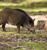 Detectats dos casos de triquinosi en carn de caça procedent de l'Alt Urgell